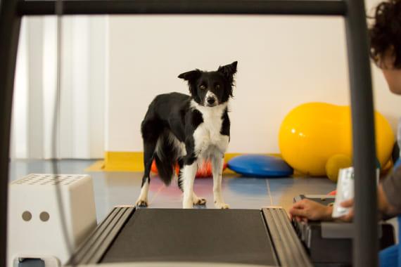Land treadmill o Tapis Roulant fisioterapia cane